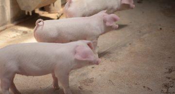 英国の新聞INDEPENDENT 『誰もが肉食をやめたら起こる5つのこと』の1つ、動物について